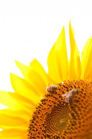 ひまわり&ミツバチは夏の風物詩です♪